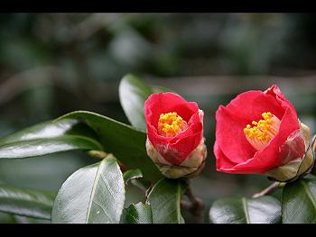 春の喜びを伝える木:椿