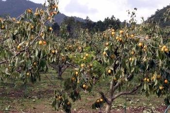 西条柿柿園