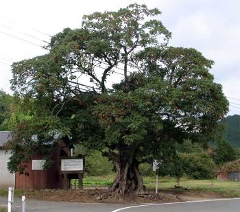 銭屋のハゼの木(全景)