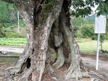銭屋のハゼの木(根元)