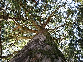 見上げたカヤの木