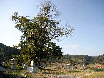 シンパクの枯大木-遠景