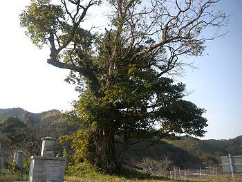シンパクの枯大木-近景