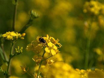 菜の花とミチバチ