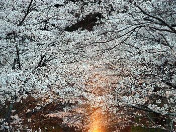 大正洞の桜-ライトアップ-6