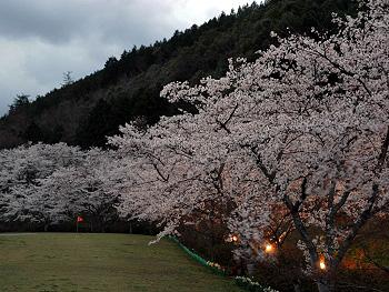 大正洞の桜-ライトアップ-1