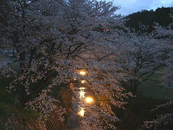 大正洞の桜-ライトアップ-3