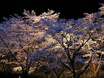 大正洞の桜-ライトアップ-2