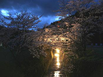 大正洞の桜-ライトアップ-4