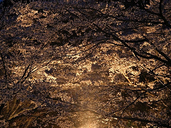 大正洞の桜-ライトアップ-5