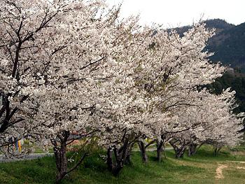 大田川河川敷に咲く桜