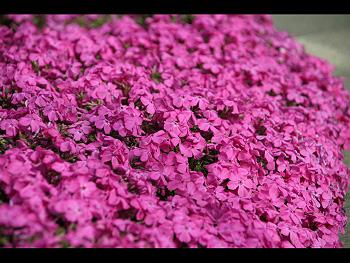 美東病院前の芝桜