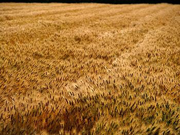 美東の裸麦畑-1
