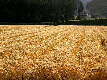 美東の裸麦畑-2
