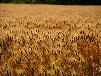 美東の裸麦畑-3