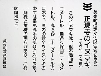 正現寺のイヌマキ-2