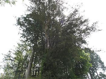 正現寺のイヌマキ-1