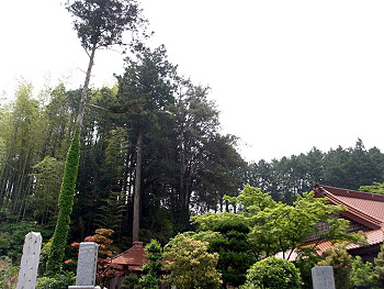 正現寺のイヌマキ-3