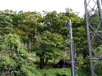 四之瀬のイロハモミジ-2