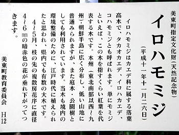 四之瀬のイロハモミジ-4
