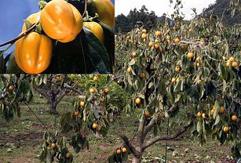 秋の味覚 西条柿「柿狩り」