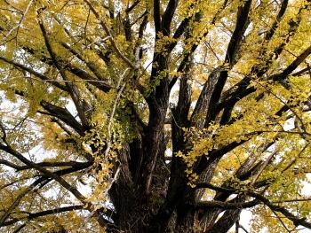 明楽寺のイチョウ・ほうき状の枝分かれ