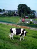 cow_3_t.jpg