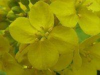菜の花拡大