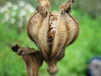 チューリップ種