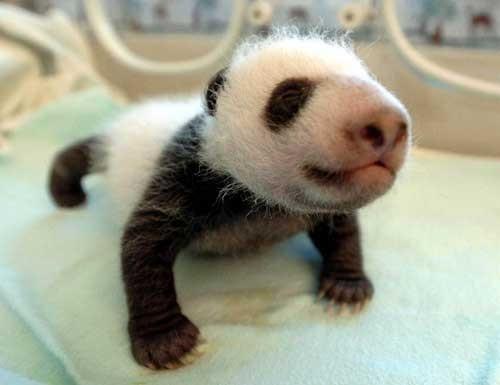 赤ん坊パンダ1