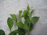 ヘナの葉、クリシュナの葉