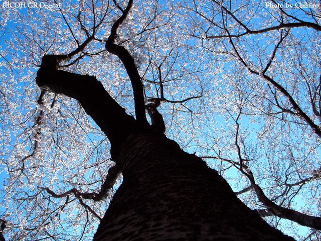 【桜♪桜ぁ~♪】 GR Digital : ISO64, 絞り優先AE, WB屋外, EV0, F3.2, 1/760, sRGB