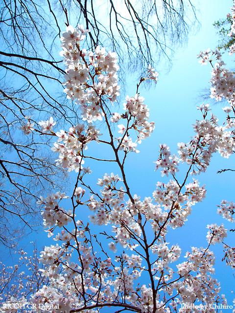 【桜♪桜ぁ~♪】 GR Digital : ISO64, 絞り優先AE, WB屋外, EV0, F3.2, 1/1000, sRGB