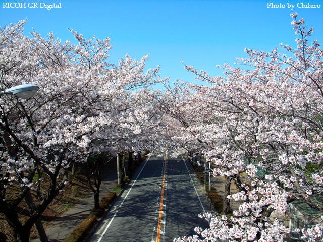 【桜♪桜ぁ~♪】 GR Digital : ISO64, 絞り優先AE, WB屋外, EV-0.7, F3.2, 1/1000, sRGB