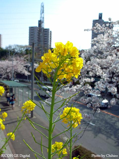 【春!4月!桜には負けませんよぉ~♪】 GR Digital : ISO64, 絞り優先AE, WB屋外, EV0, F3.2, 1/1000, sRGB