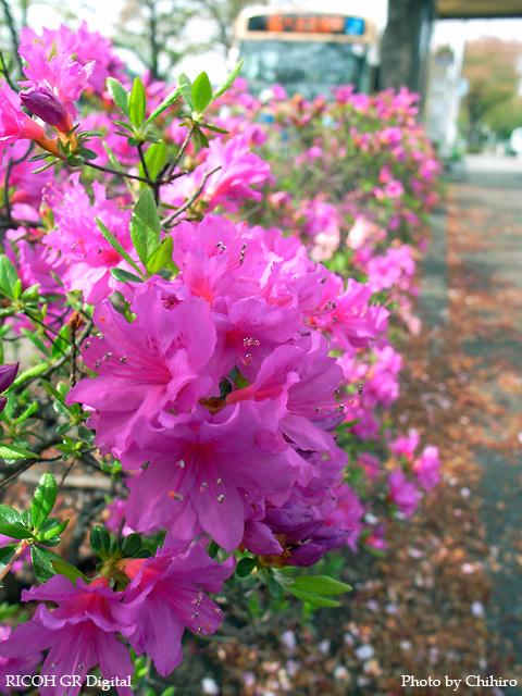 【朝一番、通勤前に花を愛でるとなごみます♪】 GR Digital : ISO64, 絞り優先AE, WB屋外, EV0, F4.0, 1/133s, sRGB