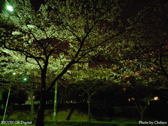 【散りぎわ夜桜 フォ~!!!ヽ(゜∇゜)ノ】 GR Digital : ISO64, 絞り優先AE, WBオート, EV0, F2.4, 1s, sRGB