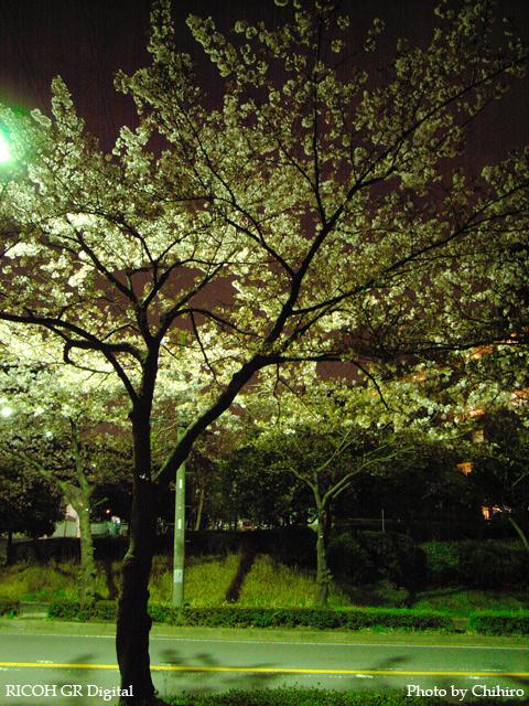 【散りぎわ夜桜 フォ~!!!ヽ(゜∇゜)ノ】 GR Digital : ISO100, 絞り優先AE, WBオート, EV0, F2.4, 1s, sRGB