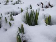 水仙雪に埋もれる