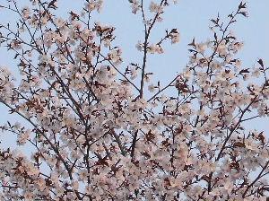 2006_0516桜-6