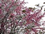 2006_0518桜&さくらんぼ