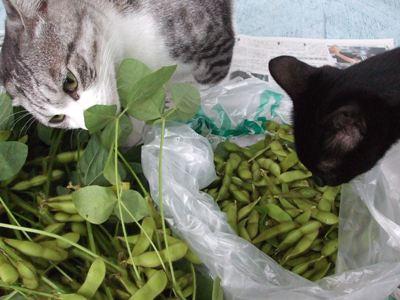 2006年枝豆