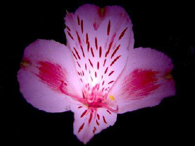 arusutoromeria