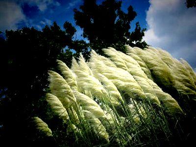 panpasgrass
