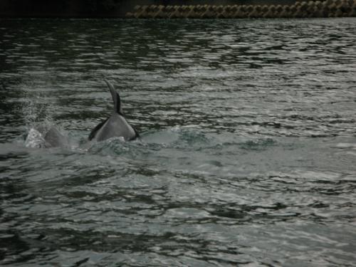 能登島イルカ2
