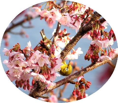 寒桜とメジロ7