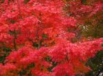 河口湖の紅葉