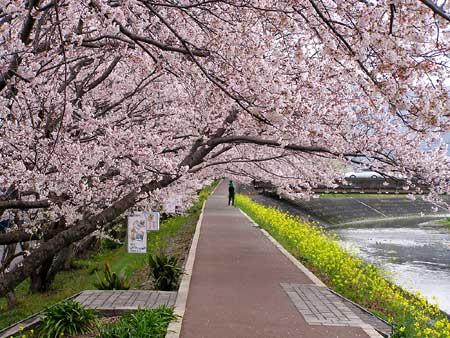 桜と菜の花-2