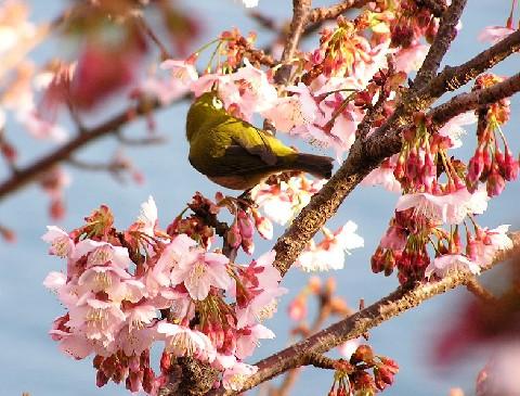 寒桜とメジロ3