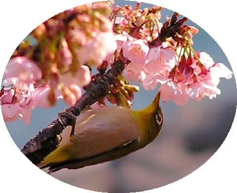 寒桜とメジロ4